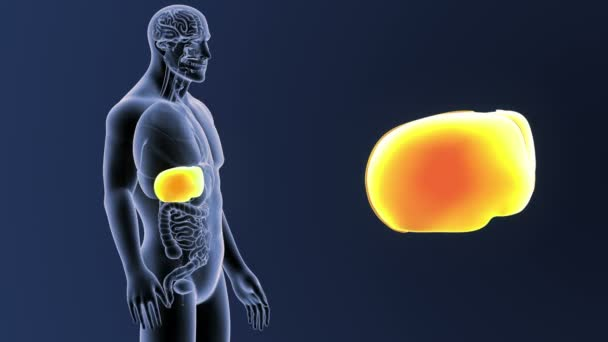 Leber mit Organe im Skelett Körper vergrößern — Stockvideo ...
