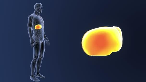 Liver Zoom With Anatomy Stock Video Sciencepics 170910200