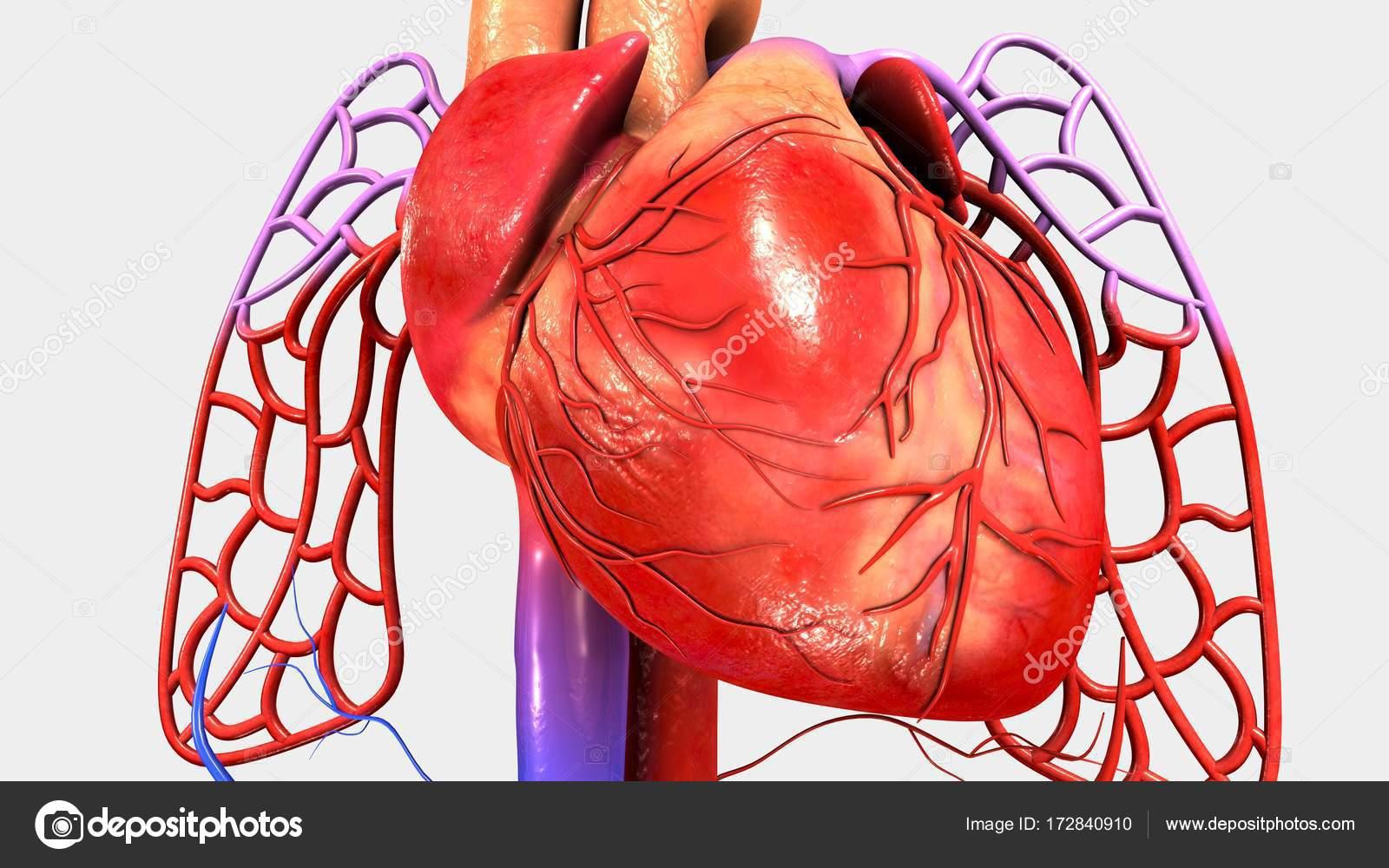 Músculo del corazón humano — Fotos de Stock © sciencepics #172840910