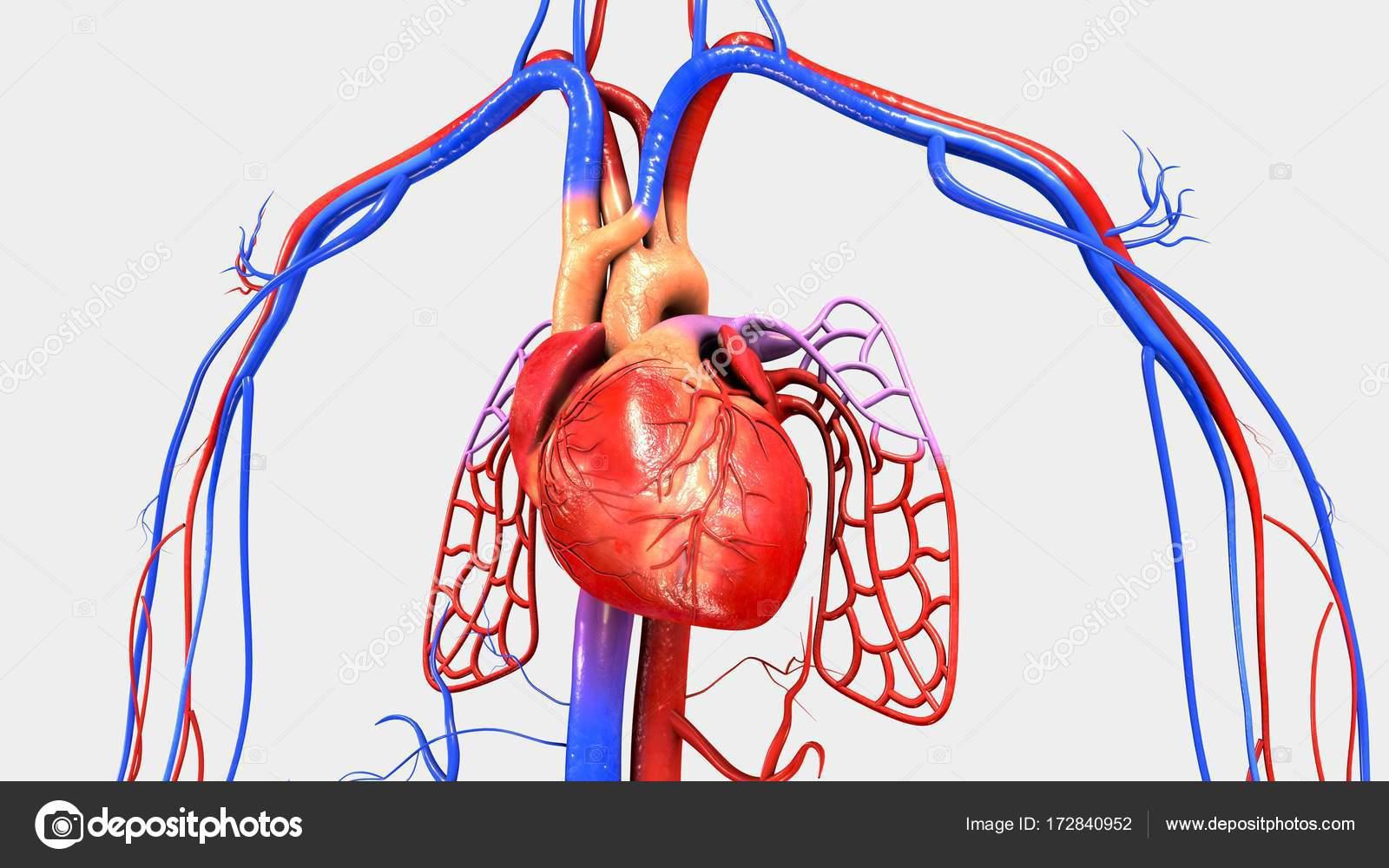 Músculo del corazón humano — Fotos de Stock © sciencepics #172840952