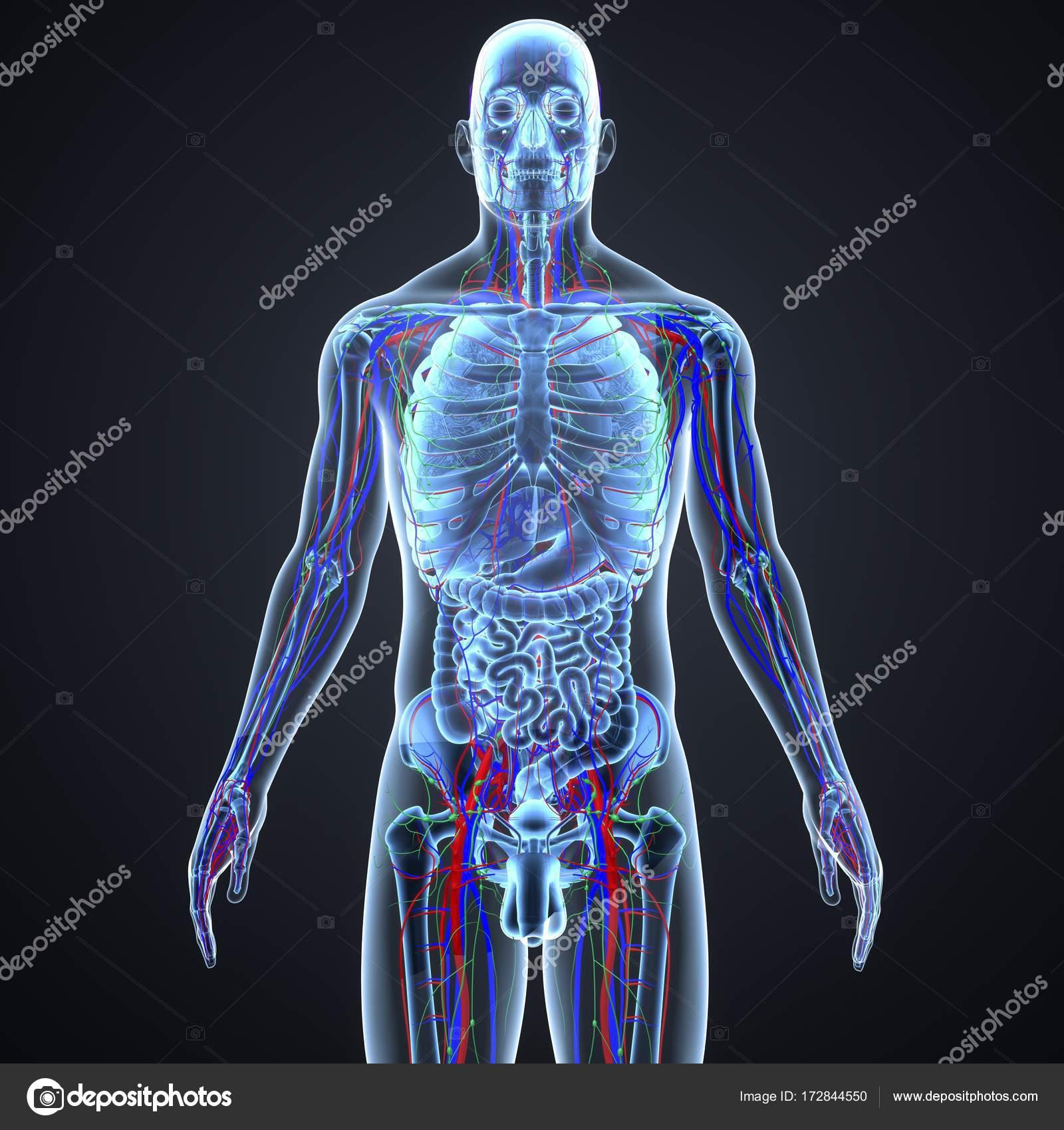 Sistema circulatorio y los ganglios linfáticos — Fotos de Stock ...