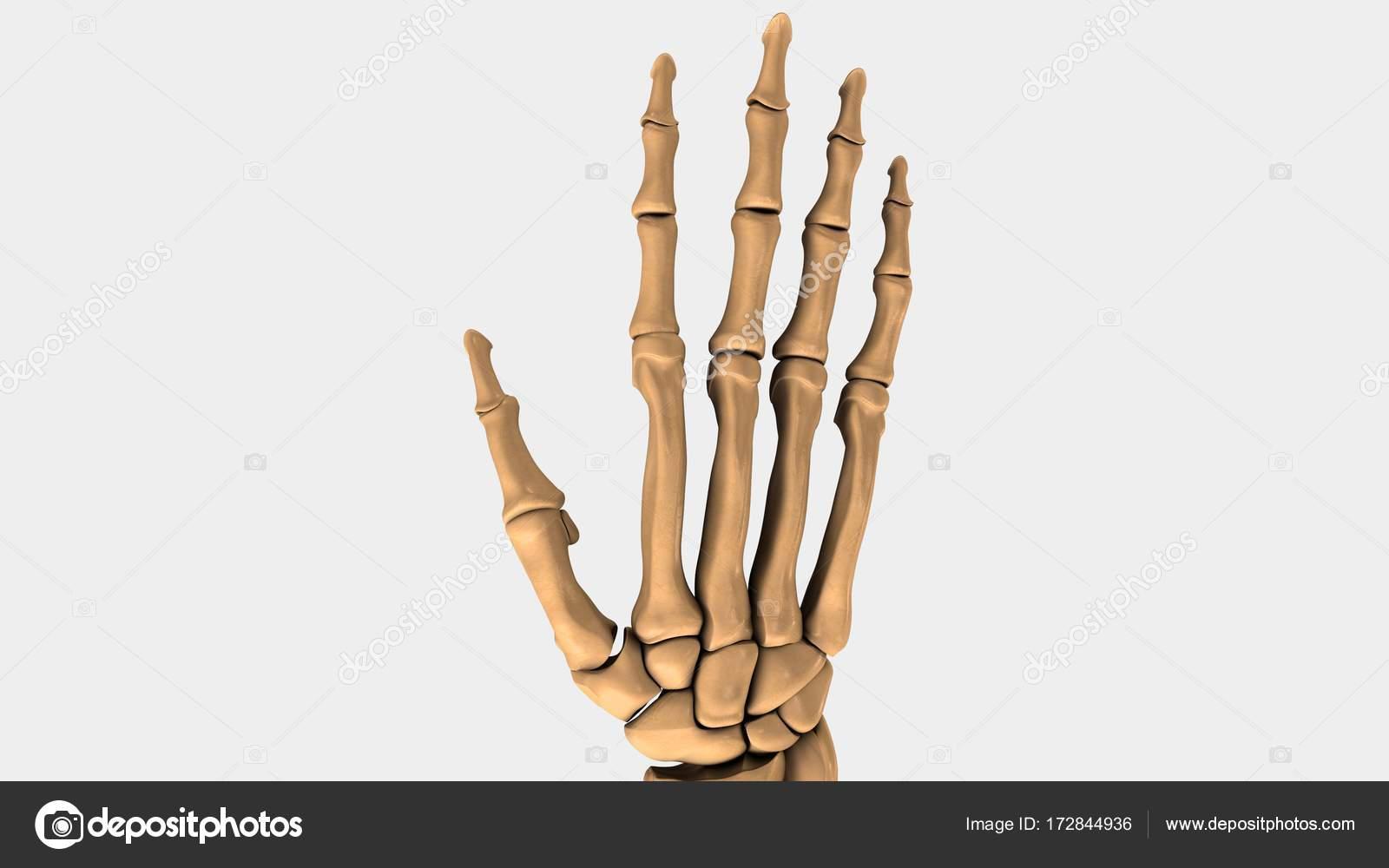 Menschlichen Handgelenk Knochen — Stockfoto © sciencepics #172844936
