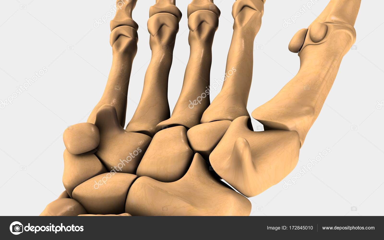Menschlichen Handgelenk Knochen — Stockfoto © sciencepics #172845010