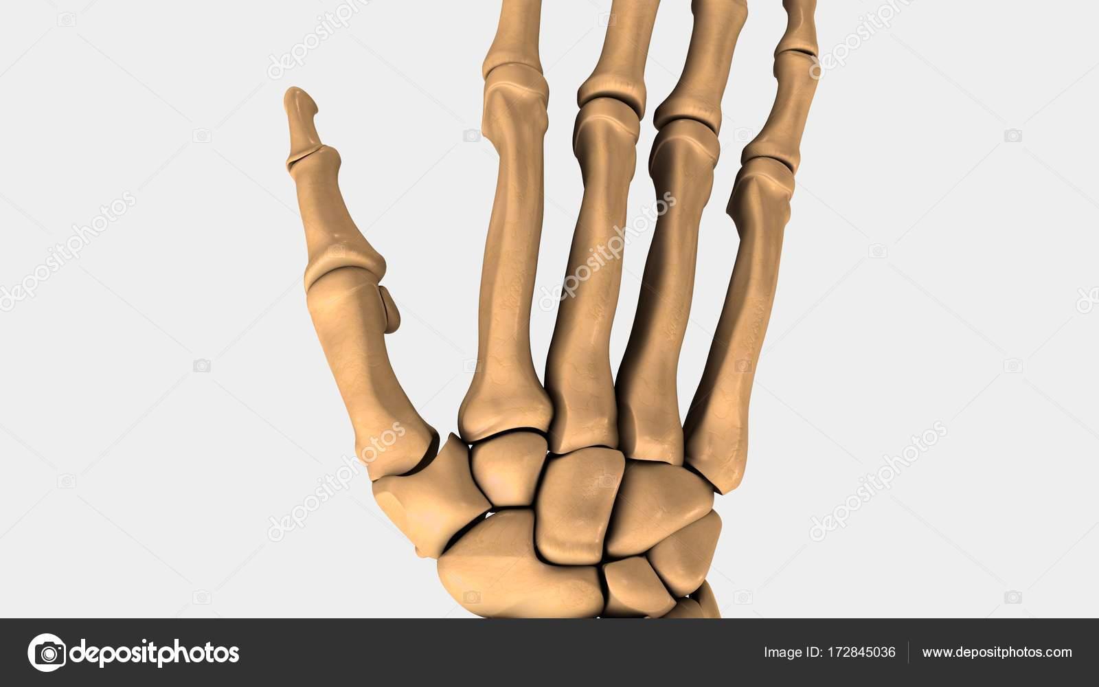 Menschlichen Handgelenk Knochen — Stockfoto © sciencepics #172845036