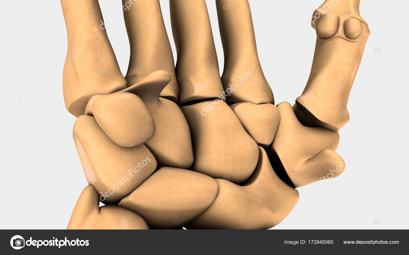 Menschlichen Handgelenk Knochen — Stockfoto © sciencepics #172845060