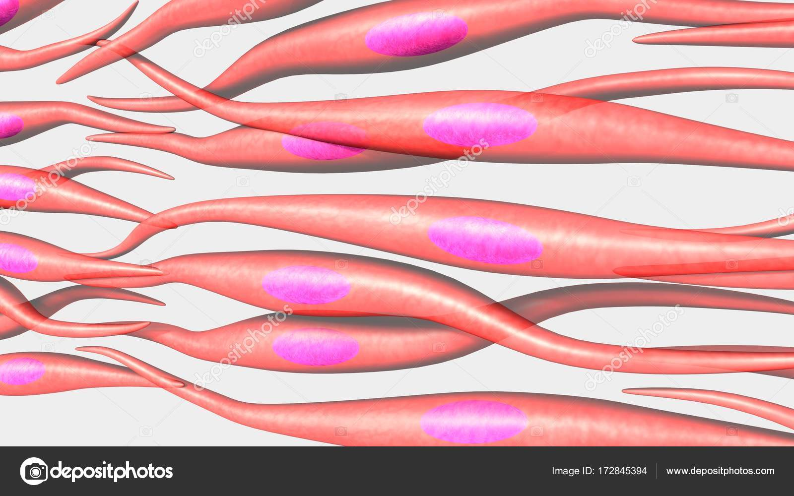 Human Muscle Cells Stock Photo Sciencepics 172845394