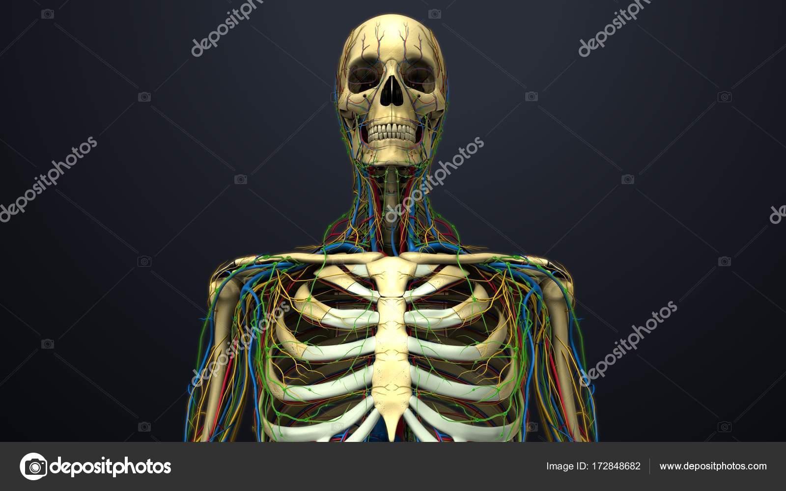 menschliche Anatomie mit Skelett — Stockfoto © sciencepics #172848682