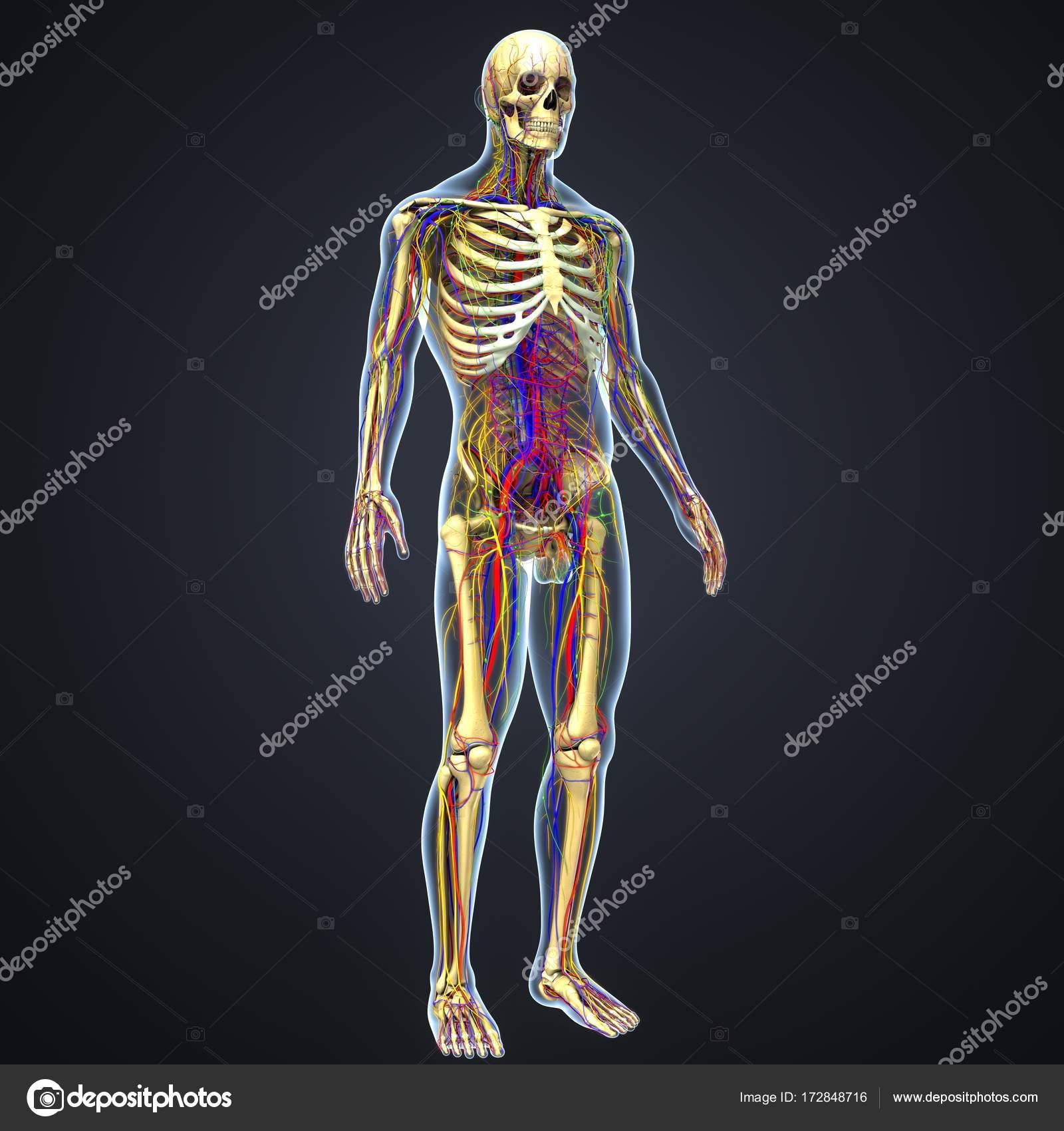 menschliche Anatomie mit Skelett — Stockfoto © sciencepics #172848716