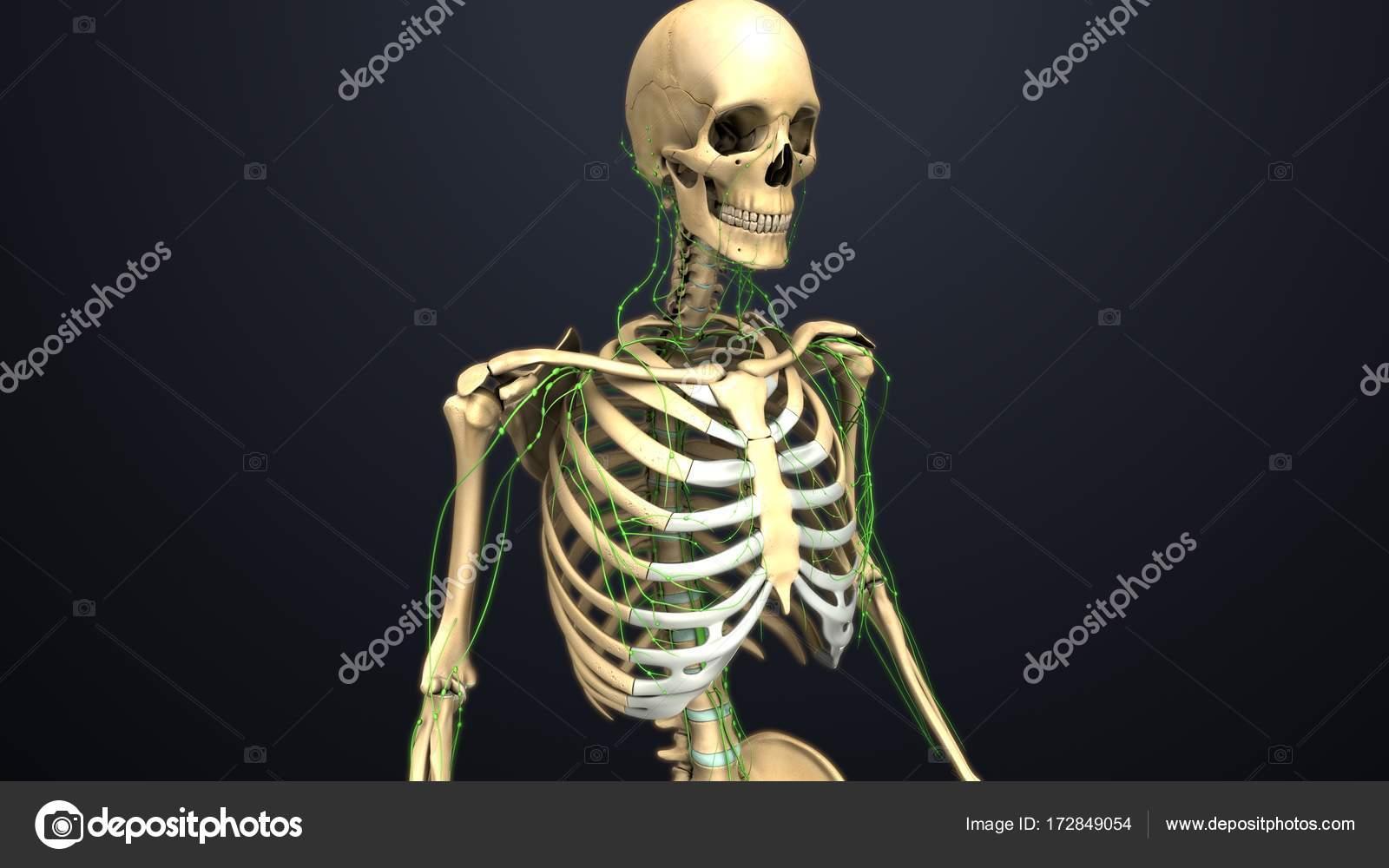 Menschliches Skelett-Struktur — Stockfoto © sciencepics #172849054