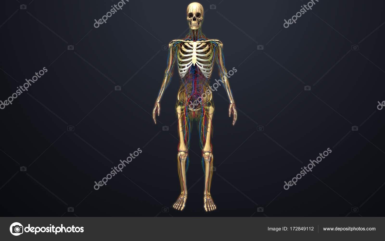 Menschliches Skelett-Struktur — Stockfoto © sciencepics #172849112