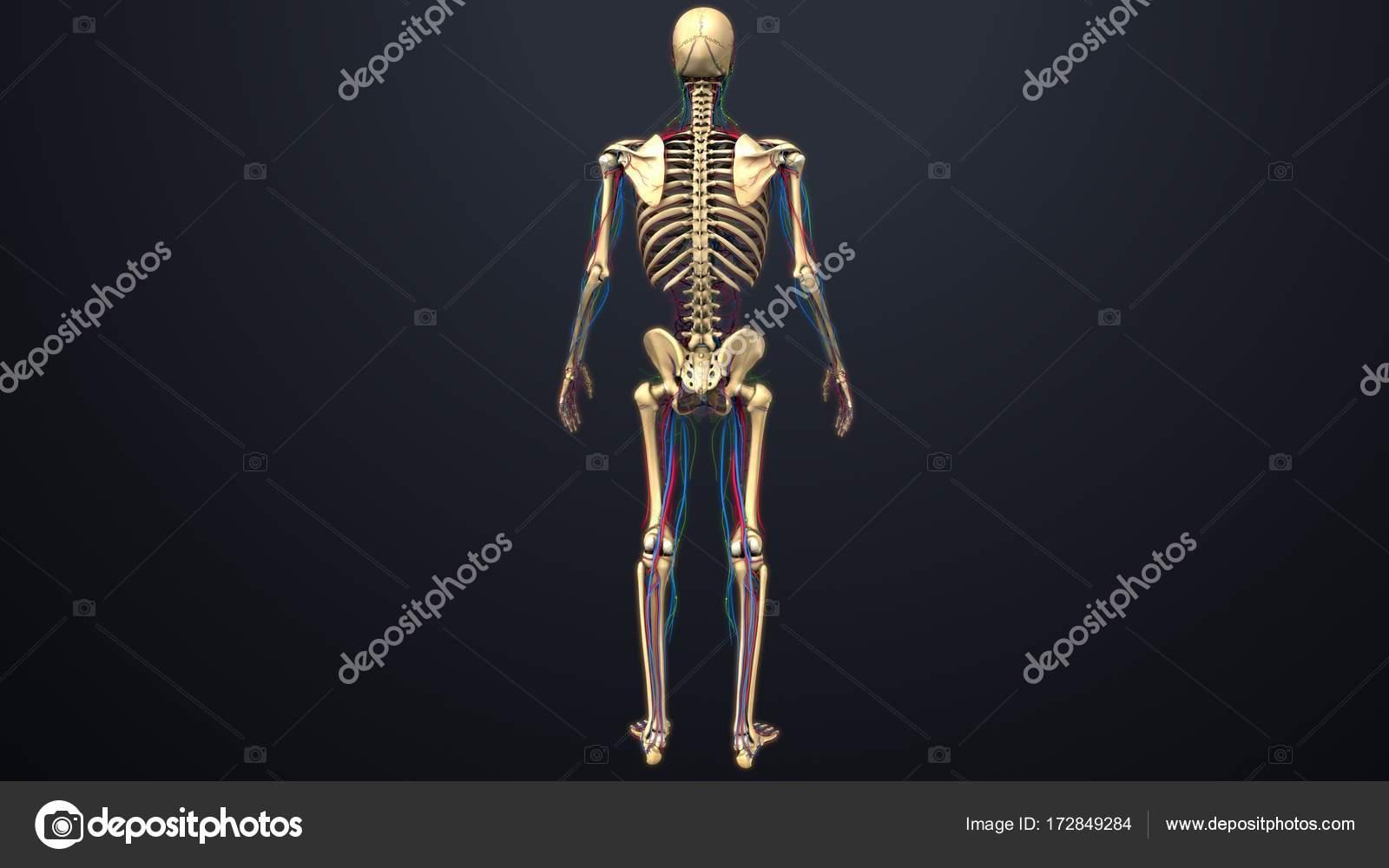 Menschliches Skelett-Struktur — Stockfoto © sciencepics #172849284