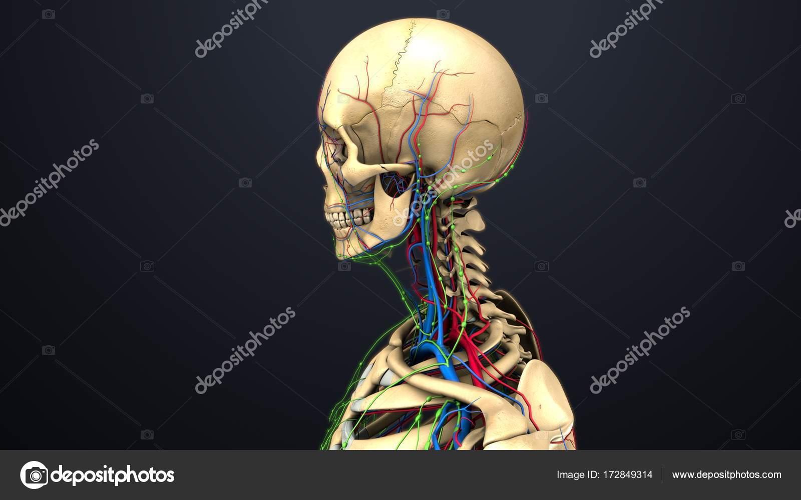 Menschliches Skelett-Struktur — Stockfoto © sciencepics #172849314