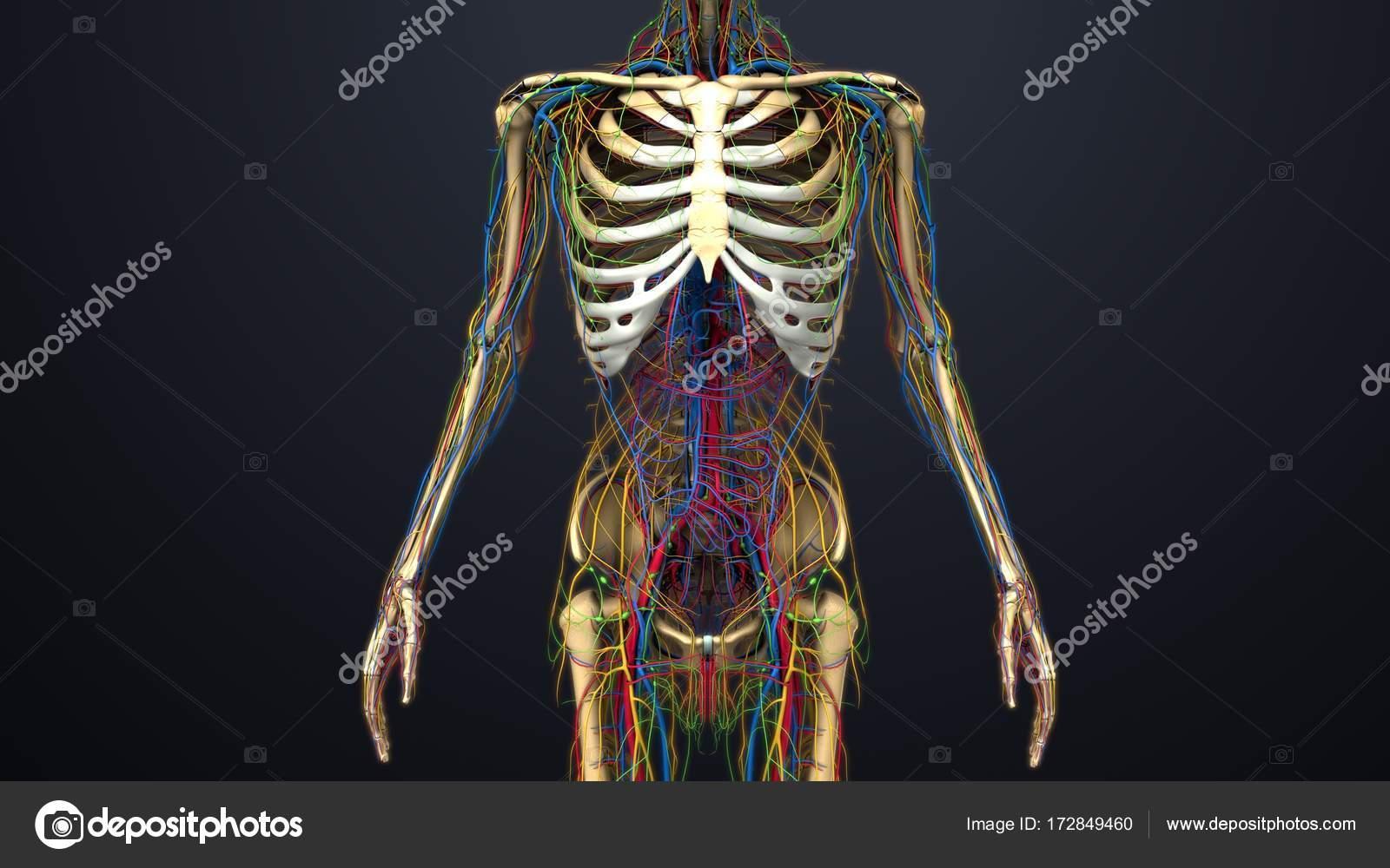 Nervensystem mit Lymphknoten — Stockfoto © sciencepics #172849460