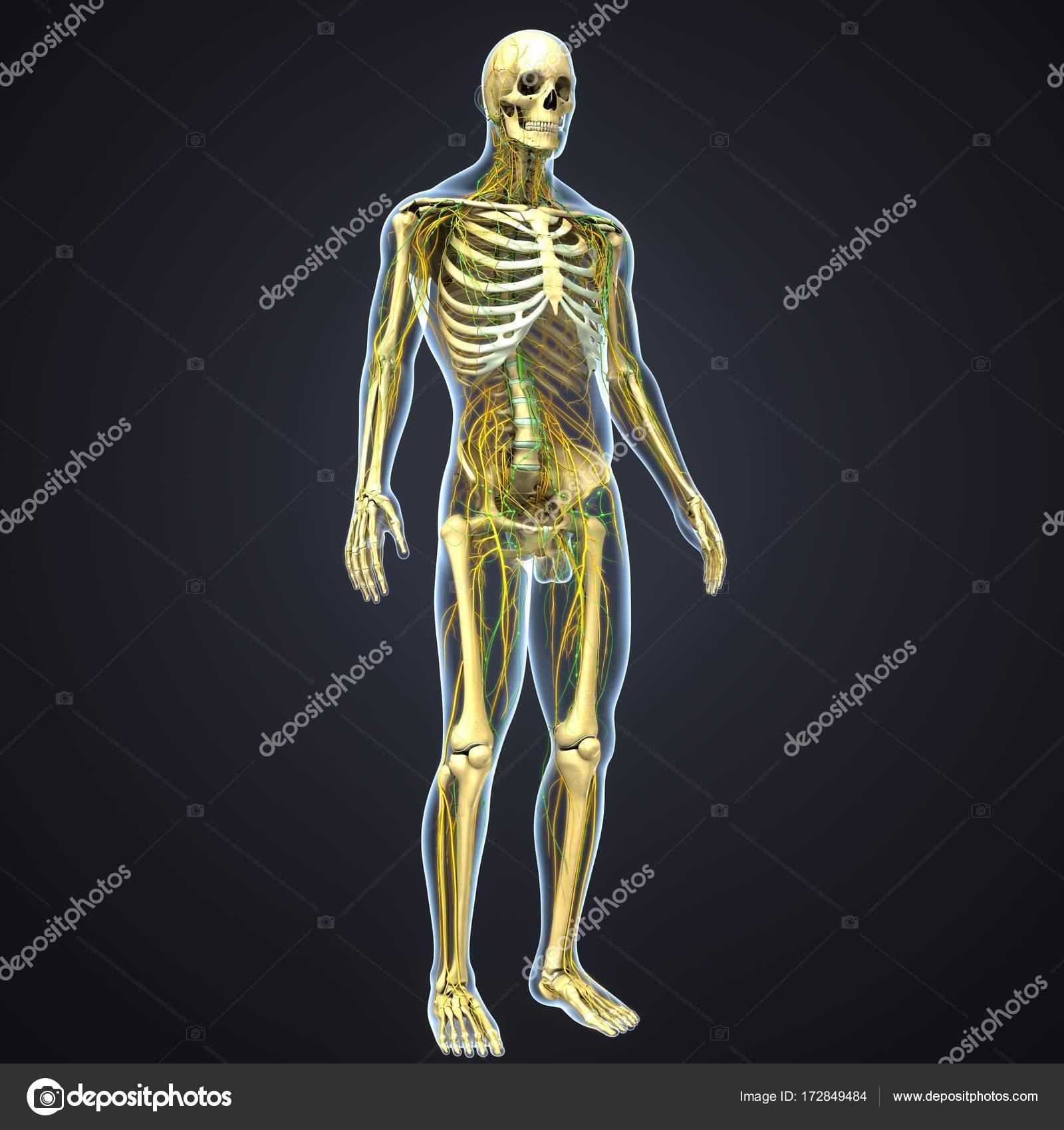 Nervensystem und Lymphknoten — Stockfoto © sciencepics #172849484