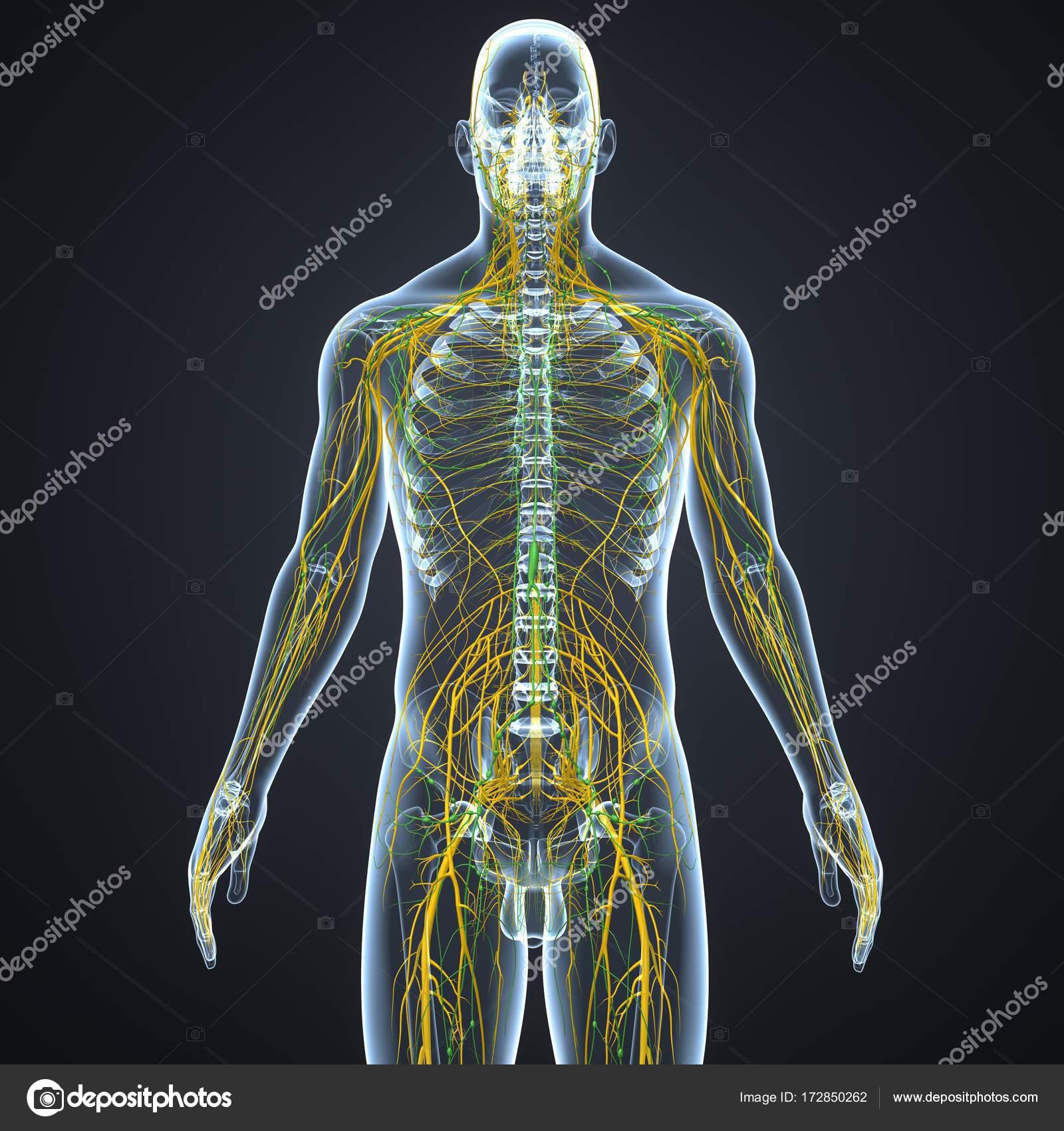 Nerven und Lymphknoten — Stockfoto © sciencepics #172850262