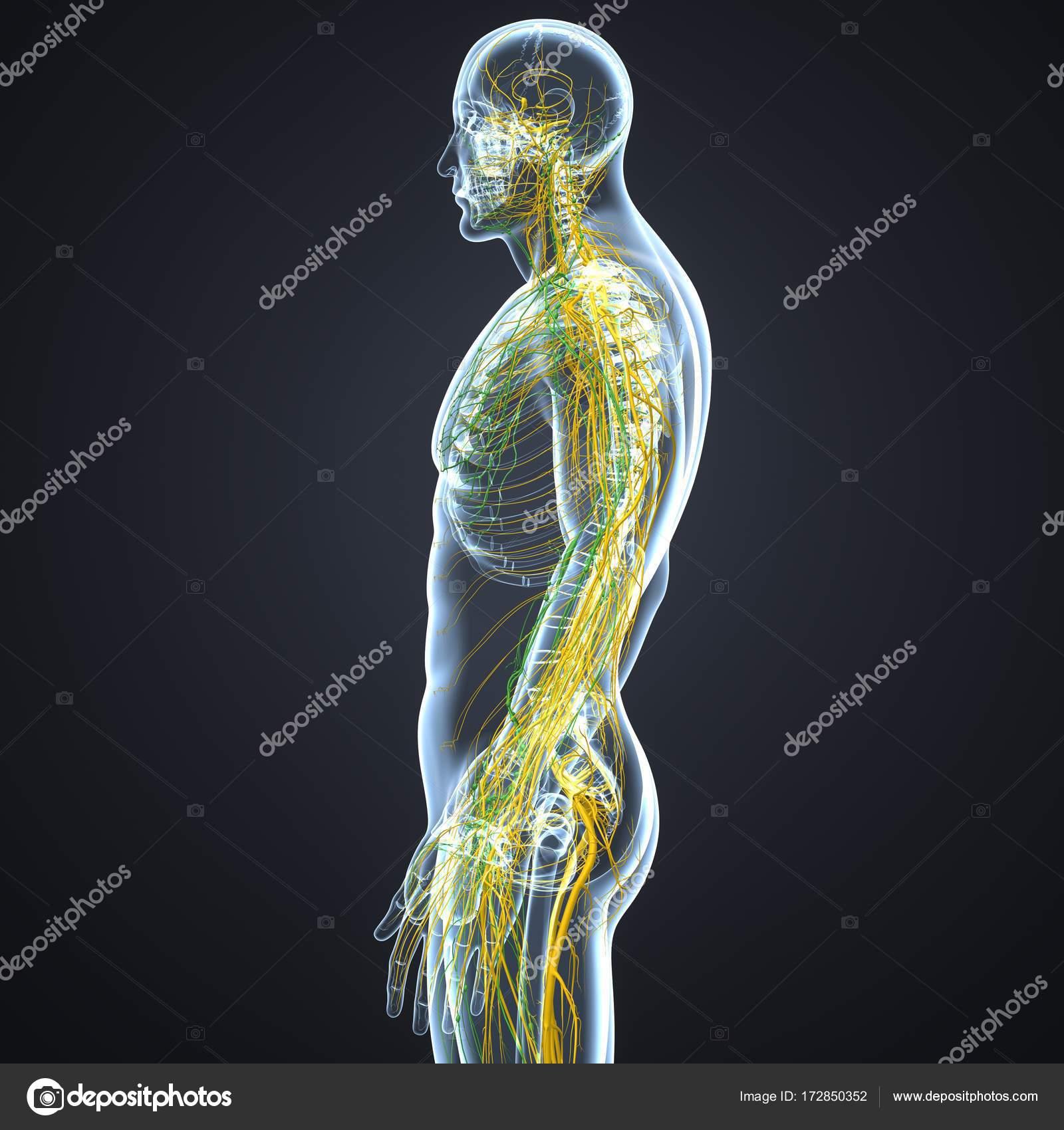 Nerven und Lymphknoten — Stockfoto © sciencepics #172850352
