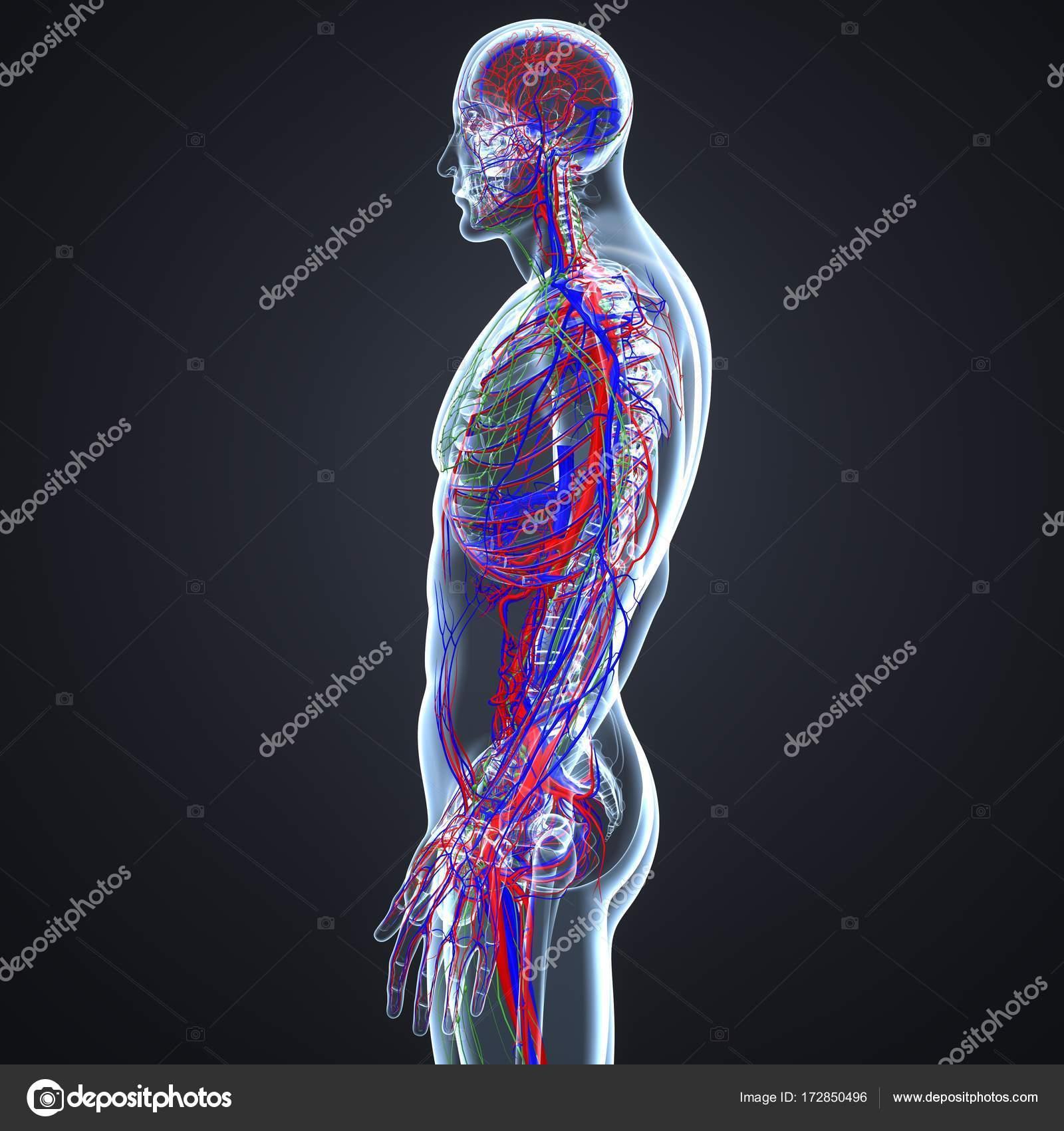 Los vasos sanguíneos y ganglios linfáticos — Fotos de Stock ...