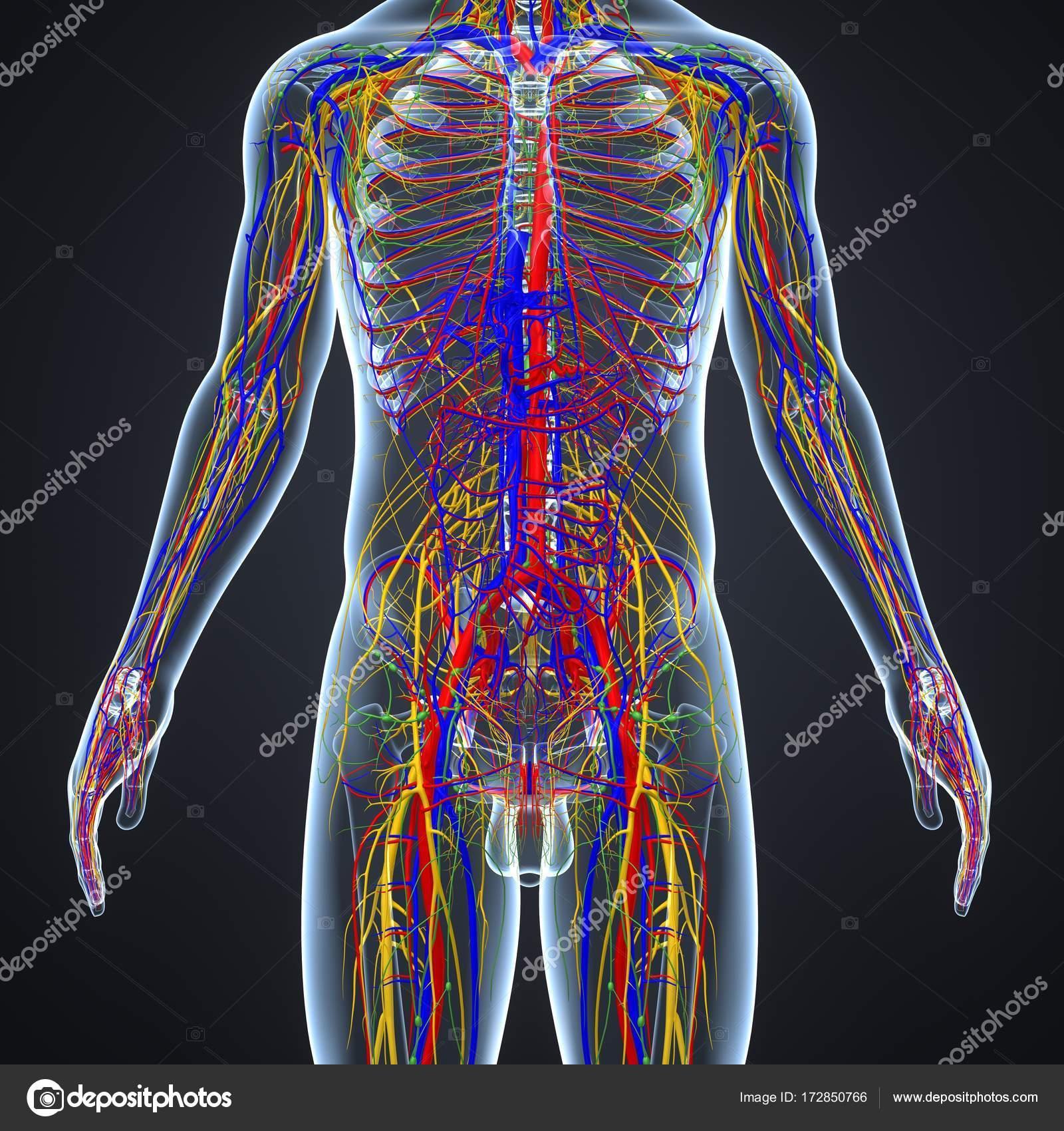 Nervensystem mit Lymphknoten — Stockfoto © sciencepics #172850766
