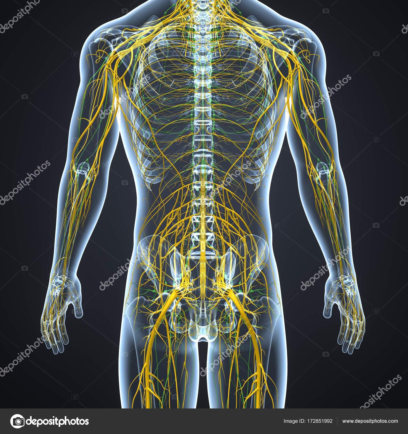 Nervensystem mit Lymphknoten — Stockfoto © sciencepics #172851992
