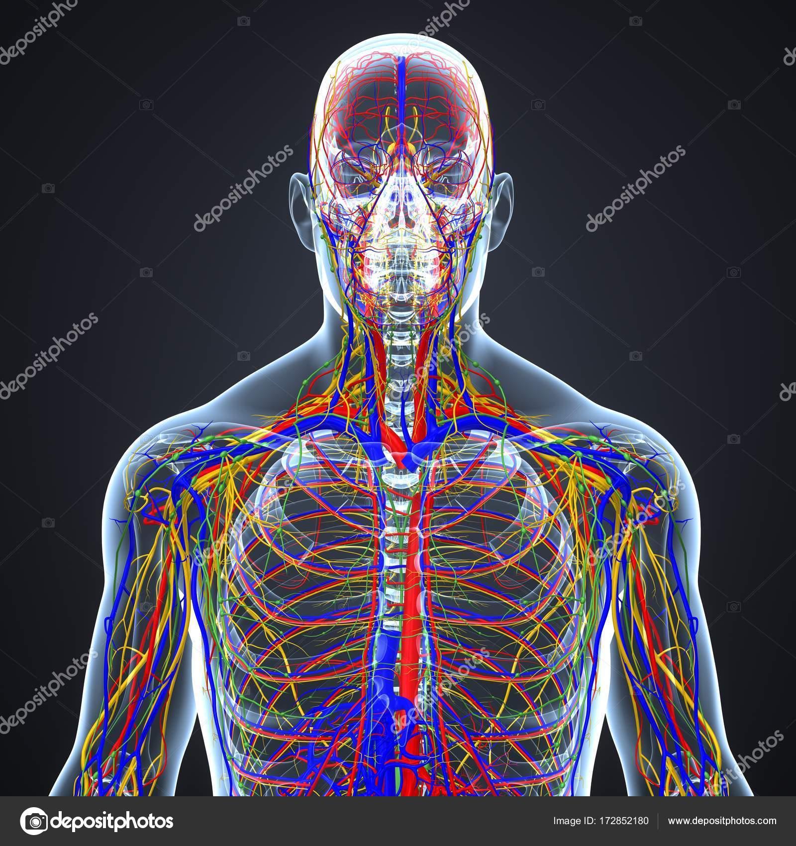 Nervensystem mit Lymphknoten — Stockfoto © sciencepics #172852180