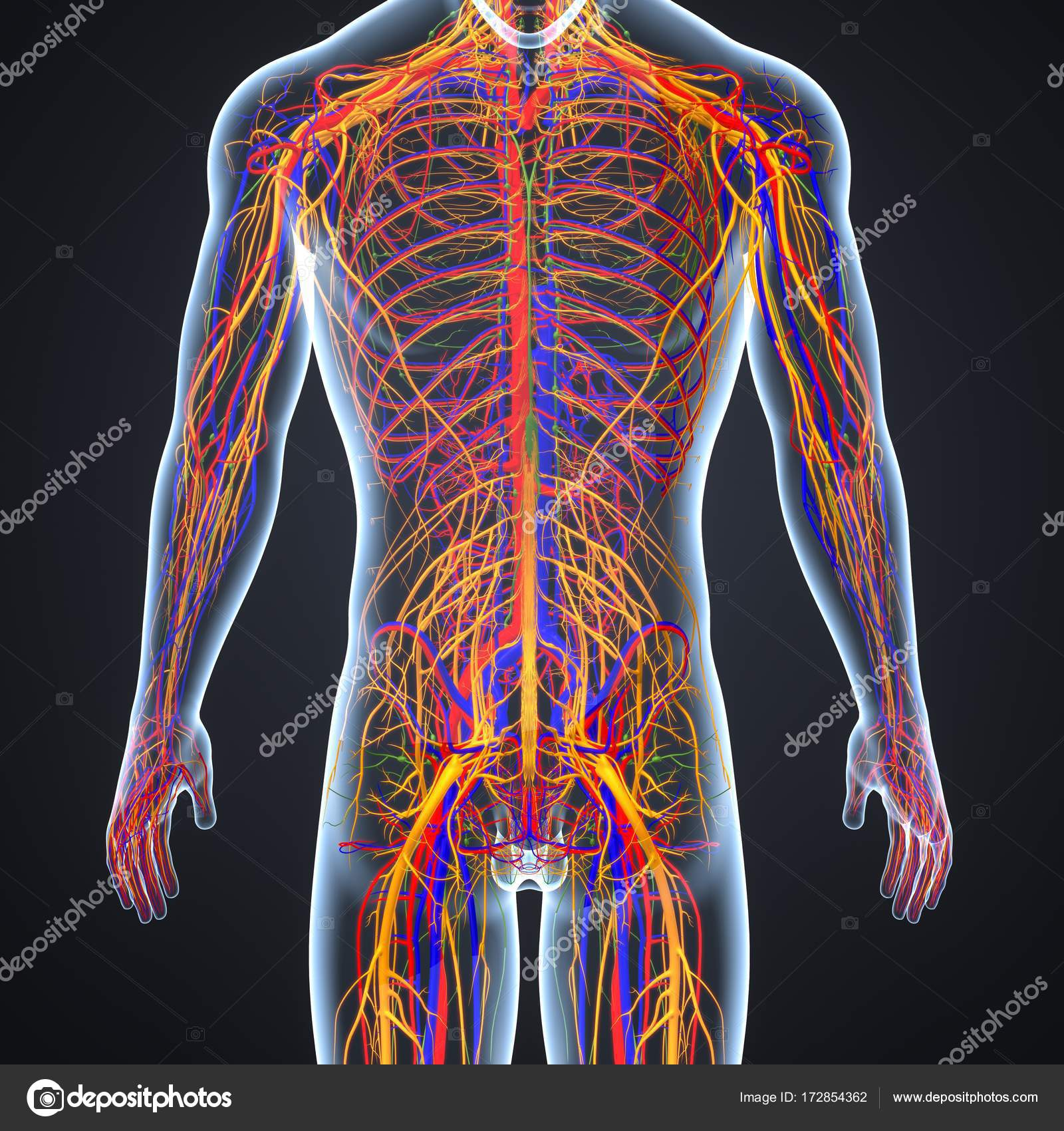 Nervensystem mit Lymphknoten — Stockfoto © sciencepics #172854362