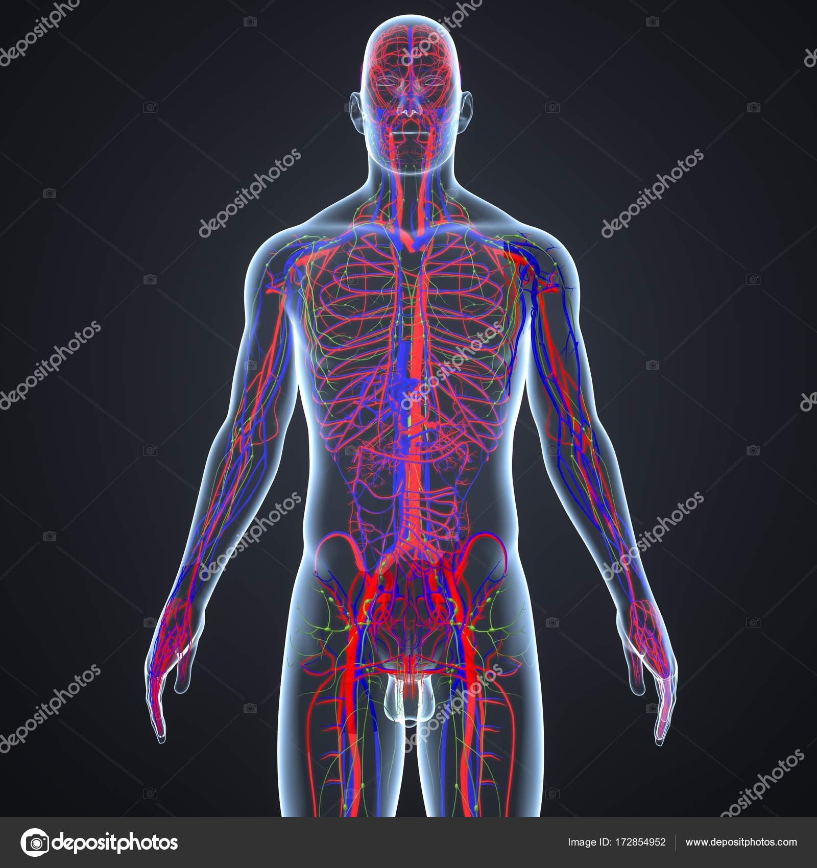 Blutgefäße und Lymphknoten — Stockfoto © sciencepics #172854952