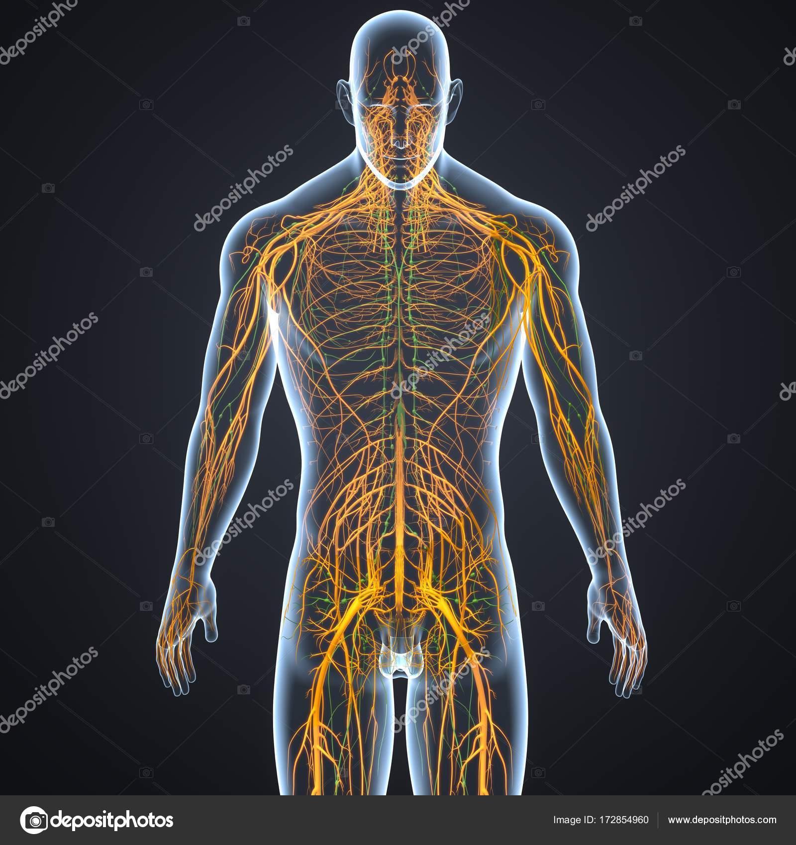 Sistema nervioso y los ganglios linfáticos — Fotos de Stock ...