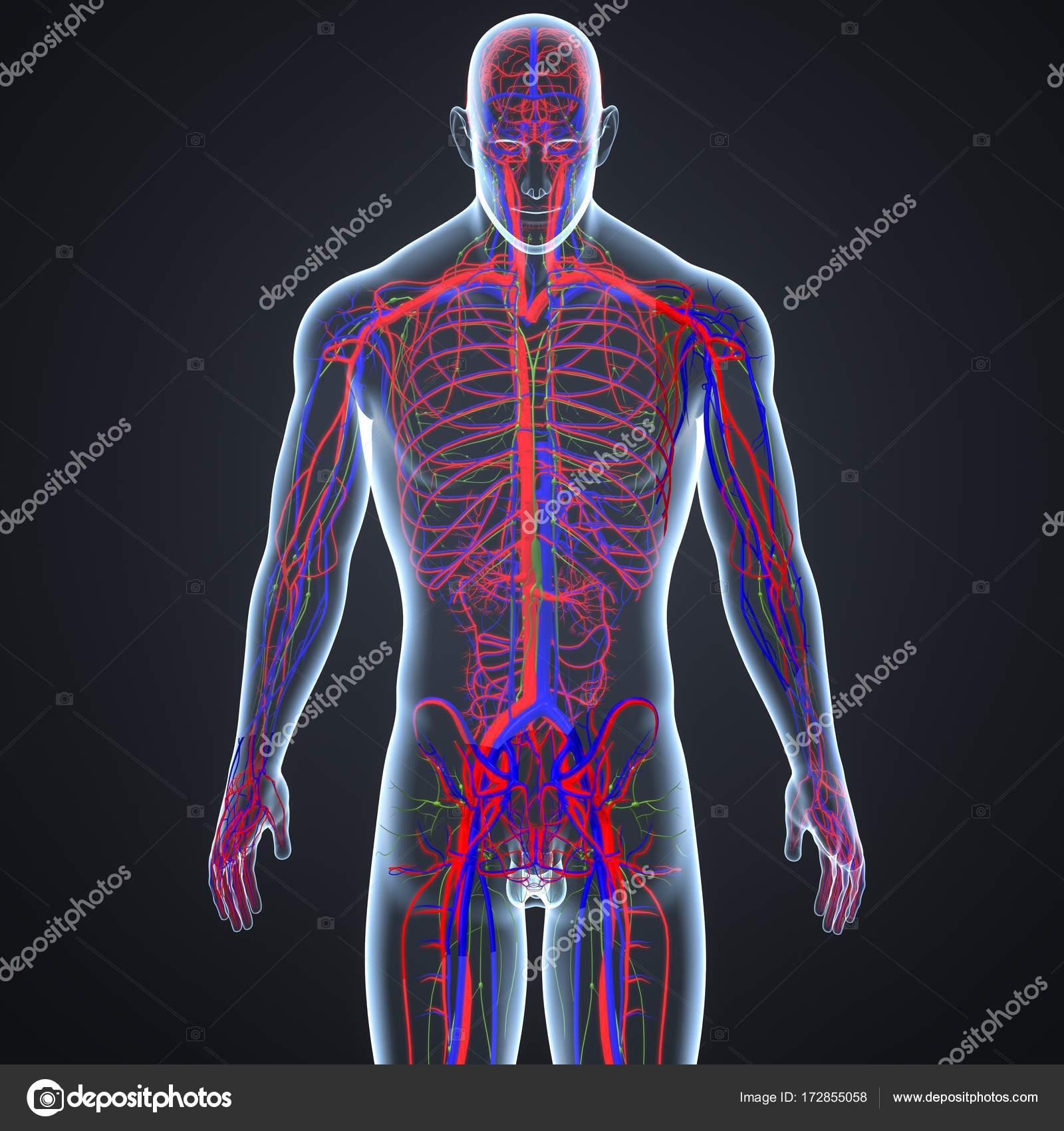 Los vasos sanguíneos y ganglios linfáticos — Foto de stock ...