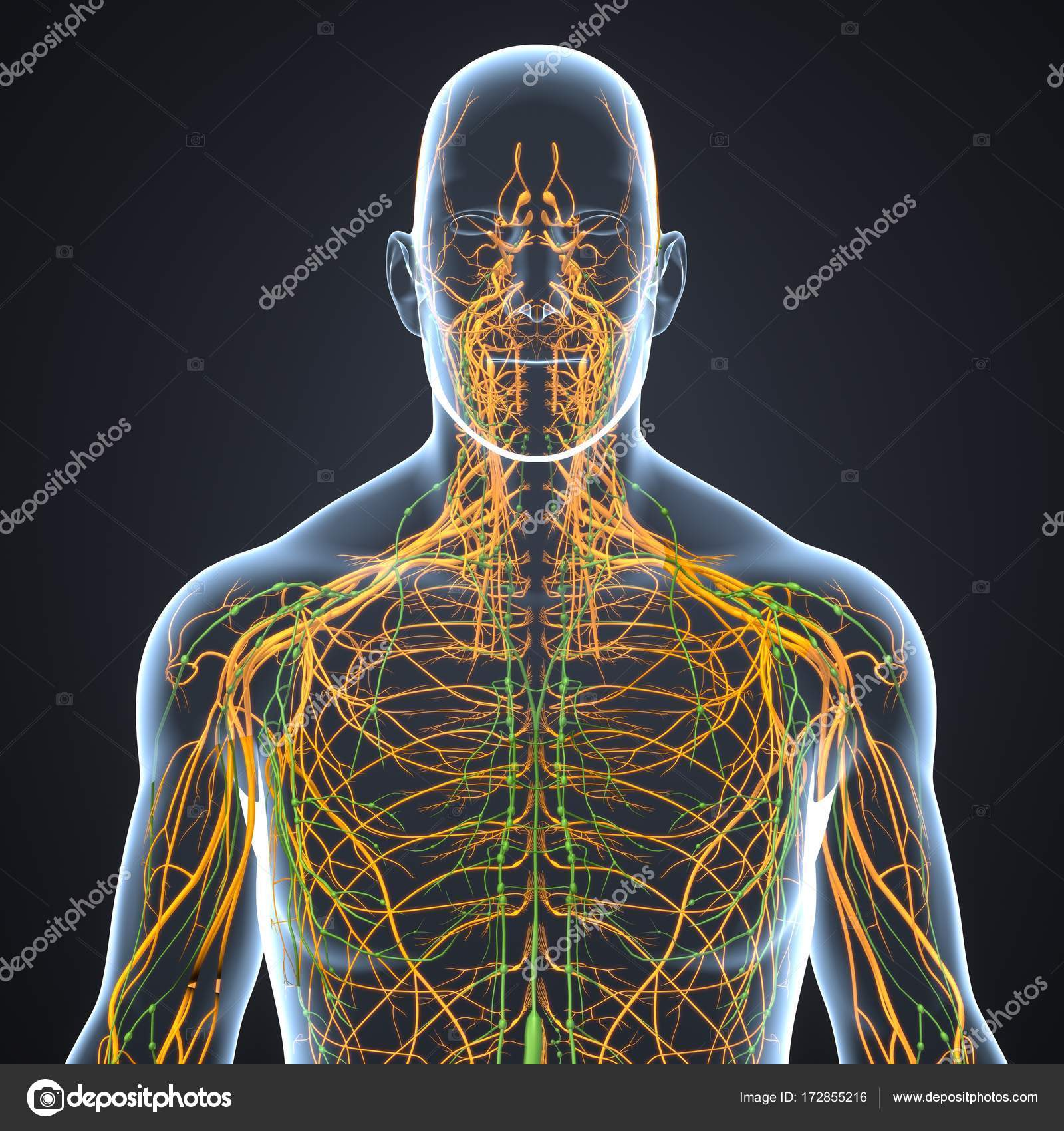 Sistema nervioso con ganglios linfáticos — Fotos de Stock ...