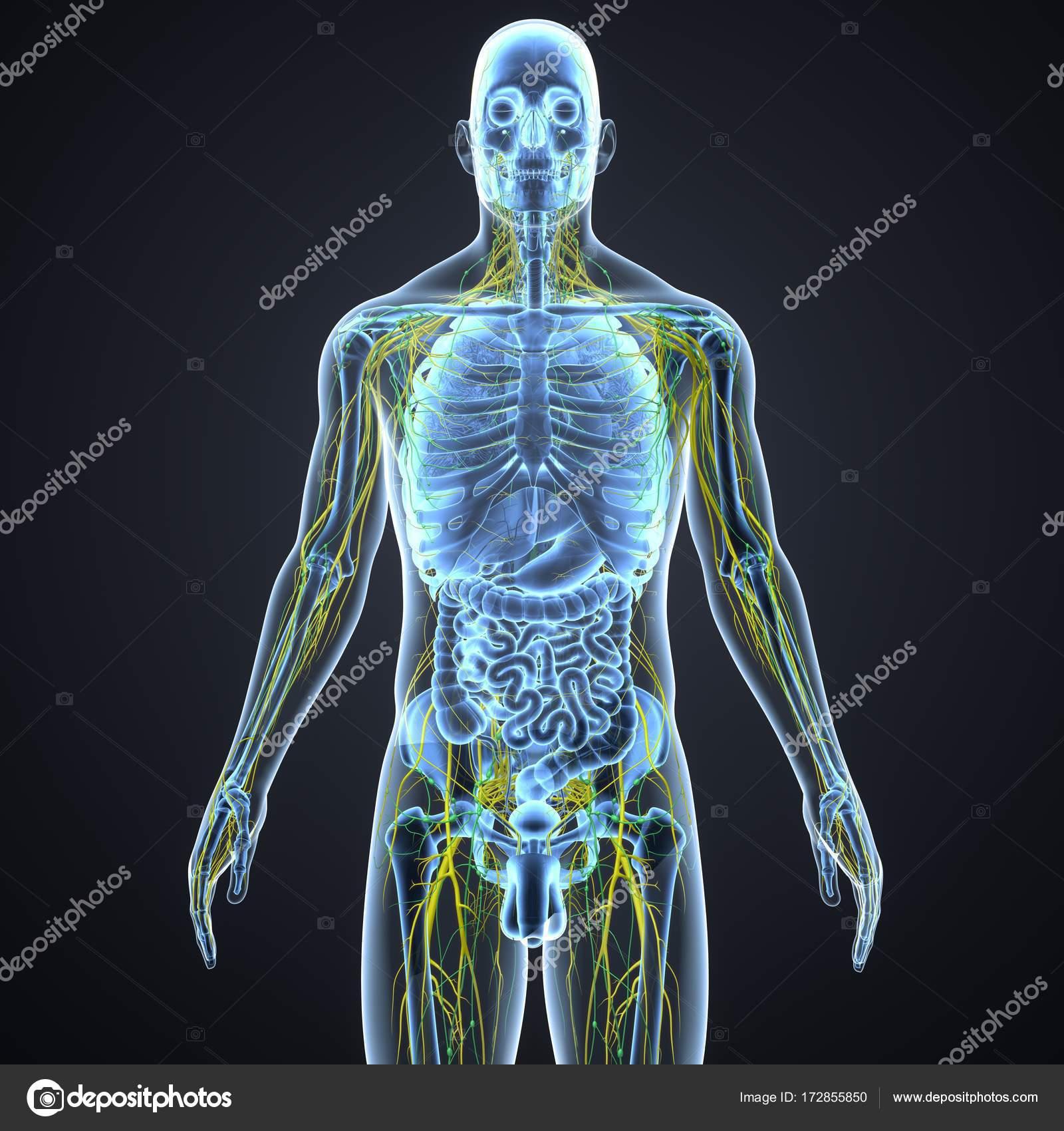 Sistema nervioso con ganglios linfáticos — Foto de stock ...