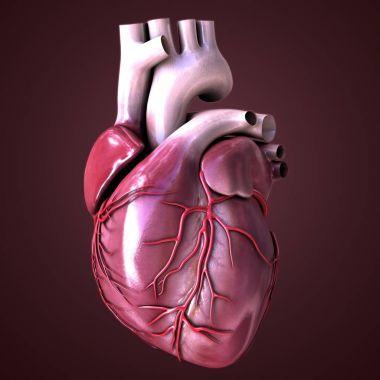 Human heart muscle