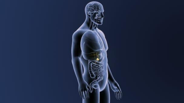 anatomie lidského těla