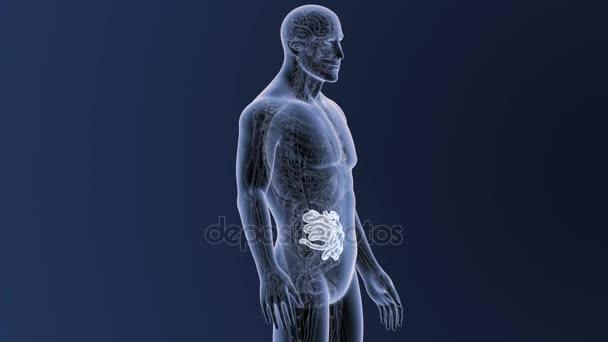 Anatomie des menschlichen Körpers — Stockvideo © sciencepics #174587158