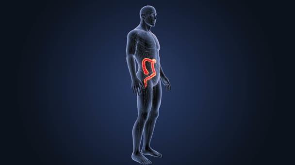 Tlustého střeva zoom s anatomie.