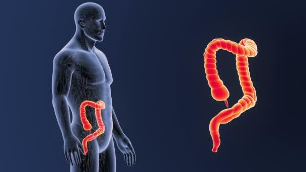 Dickdarm Zoom Mit Anatomie — Stockvideo © sciencepics #174918696