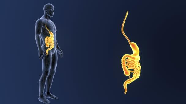 Lidský žaludek a střeva zobrazení 3d ilustrace
