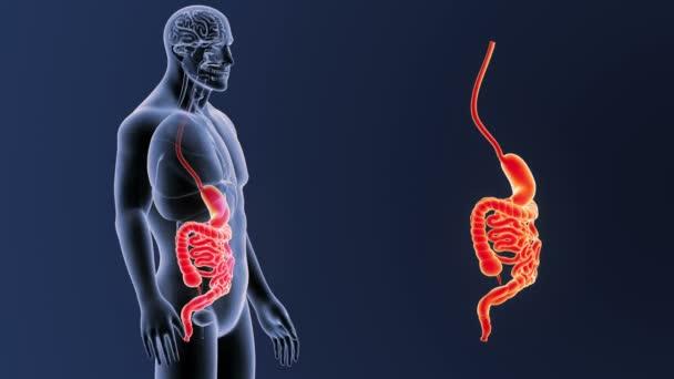 Menschlichen Magen Und Darm Anzeigen Illustration — Stockvideo ...