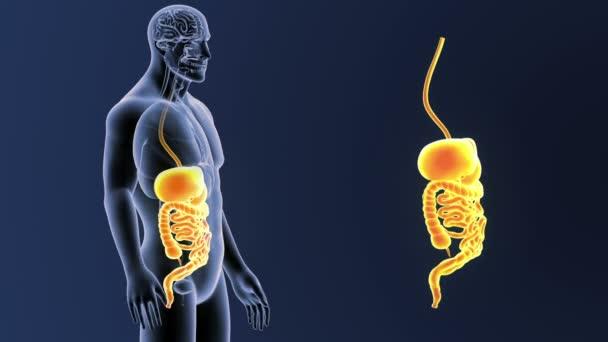 Kostra zadní pohled lidského trávicího systému, z těla na modrém pozadí