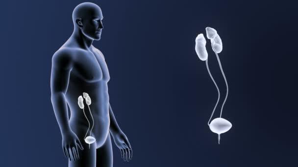 vista posteriore dello scheletro del sistema urinario umano, fuori dal corpo su priorità bassa blu