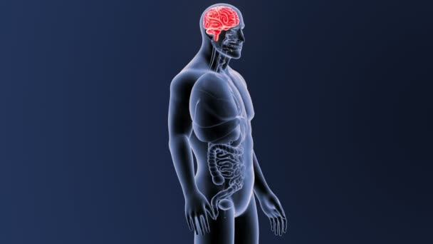 Kostra zadní pohled lidského mozku na modrém pozadí