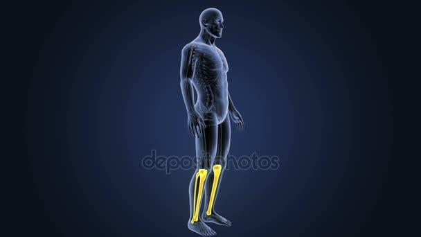 skeleton posterior view of human tibia and fibula on blue background