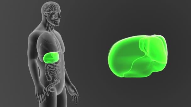 Lidská játra pohled z těla 3d ilustrace na šedém pozadí