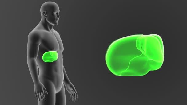 Lidská játra viewout tělo 3d ilustrace na šedém pozadí