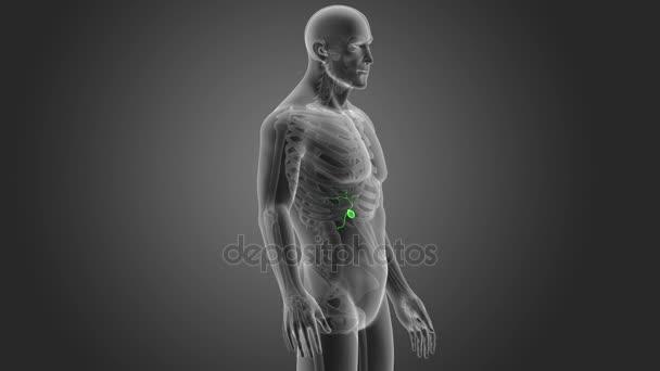 Kostra zadní pohled člověka žlučník na šedém pozadí