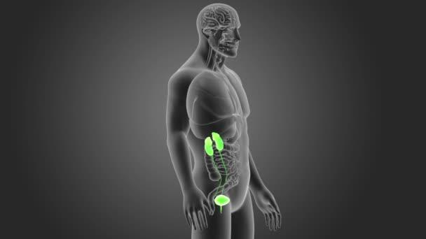 Human Urinary System View Illustration — Stock Video © sciencepics ...