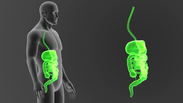 Lidský trávicí systém zobrazení 3d ilustrace z těla