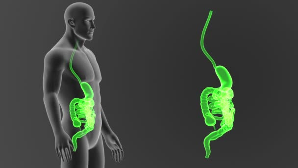 Human digestive system view illustration out body stock video human digestive system view 3d illustration out of body stock footage ccuart Choice Image