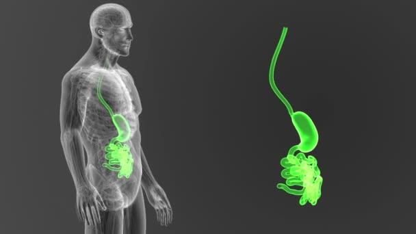 Žaludku a tenkého střeva s těla 3d ilustrace