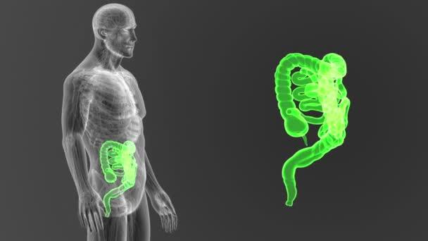 Kostra zadní pohled lidského střeva z těla na šedém pozadí