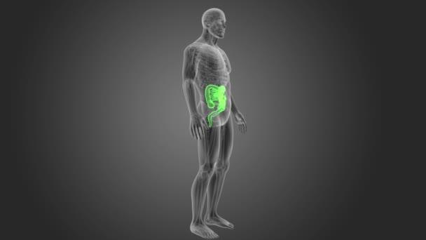 skeleton posterior view of human intestine on grey background